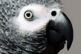 african gray parrot art softy sharon cummings700