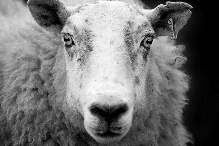 Ewe sheep black and white